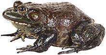 large frog brown