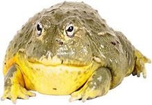 fat bull frog