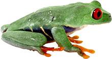 tree frog red eyes