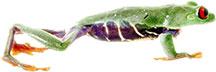 red eye tree frog image