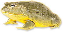 big yellow frog